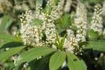Prunus laurocerasus - Cherry Laurel