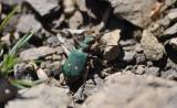 Cicindela campestris - Green Tiger Beetle