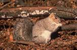 Sciurus niger - Eastern Fox Squirrel