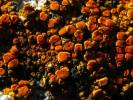 Caloplaca aurantia - Orange Lichen