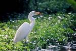 Ardea alba - Great White Egret