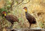 Pternistis leucoscepus - Yellow-necked Spurfowl