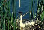Aechmophorus occidentalis - Western Grebe