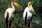 Mycteria ibis - Yellow-billed Stork