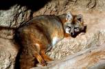 Urocyon cinereoargenteus - Common Gray Fox