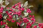 Cotoneaster mongolicus - 000000000101000