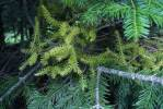 Abies - fir