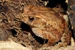 Ingerophrynus galeatus - Bony-headed Toad