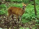 Sylvicapra grimmia - Common Duiker