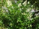 Ligustrum ovalifolium - Garden Privet
