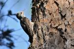 Picoides tridactylus - Three-toed Woodpecker