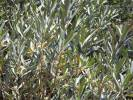 Olea europaea - Common Olive