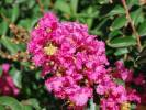 Lagerstroemia indica - Crapemyrtle