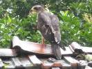 Pernis ptilorhynchus - Oriental Honey-buzzard