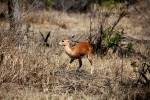 Raphicerus campestris capricornis - Short-horned Steenbok