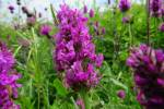 Betonica officinalis - Betony