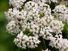 Pimpinella major - Greater Burnet-saxifrage