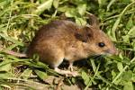 Apodemus sylvaticus - Long-tailed Field Mouse