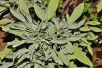 Salvia officinalis subsp. oxyodon