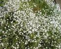 Gypsophila repens - 0000000001 1