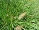 Pennisetum alopecuroides - Chinese Fountaingrass