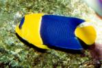Centropyge bicolor - Bicolor Angelfish