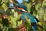 Alcedo atthis ispida - North-western Common Kingfisher