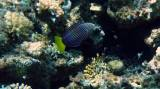 Anampses meleagrides - Spotted Wrasse