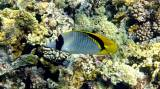 Chaetodon lineolatus - Lined Butterflyfish