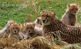 Acinonyx jubatus jubatus - South African Cheetah