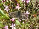 Pyrgus andromedae - Alpine Grizzled Skipper