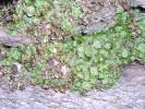 Preissia quadrata - Narrow Mushroom-headed Liverwort
