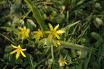Gagea lutea - Yellow Star-of-bethlehem