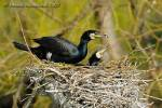 Phalacrocorax carbo - Cormorant