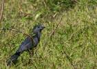 Crotophaga sulcirostris - Groove-billed Ani