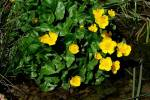 Caltha palustris - Marsh-marigold