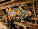 Bombina bombina - Fire-bellied Toad