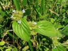 Spermacoce alata - Winged False Buttonweed