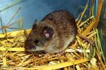 Alticola argentatus severtzovi - Severtzov´s Mountain Vole