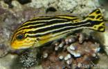 Plectorhinchus diagrammus - Striped sweetlips