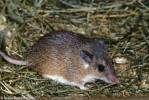 Acomys cineraceus - Gray Spiny Mouse
