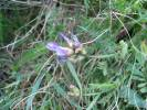Astragalus danicus - Purple Milk-vetch