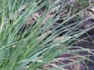 Carex paniculata - Greater Tussock-sedge