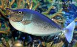Naso brevirostris - Brown Unicornfish