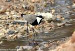 Vanellus spinosus - Spur-winged Plover