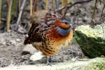 Bambusicola thoracica thoracica - South Chinese Bamboo-partridge