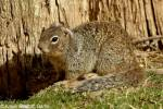 Otospermophilus variegatus grammurus - Arizona Rock Squirrel