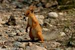 Sciurus vulgaris altaicus - Altai Red Squirrel