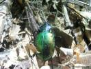 Calosoma sycophanta - Forest Caterpillar Hunter