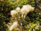 Cotinus coggygria - Smoke-tree